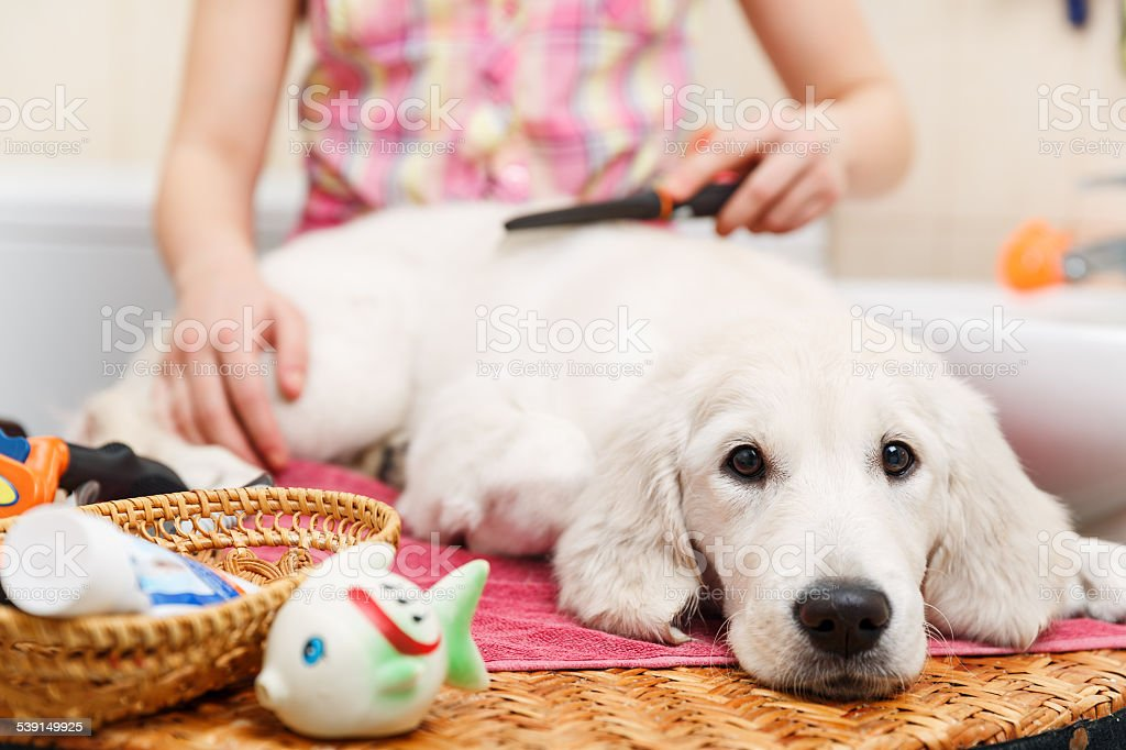 Girl grooming of his dog at home stock photo