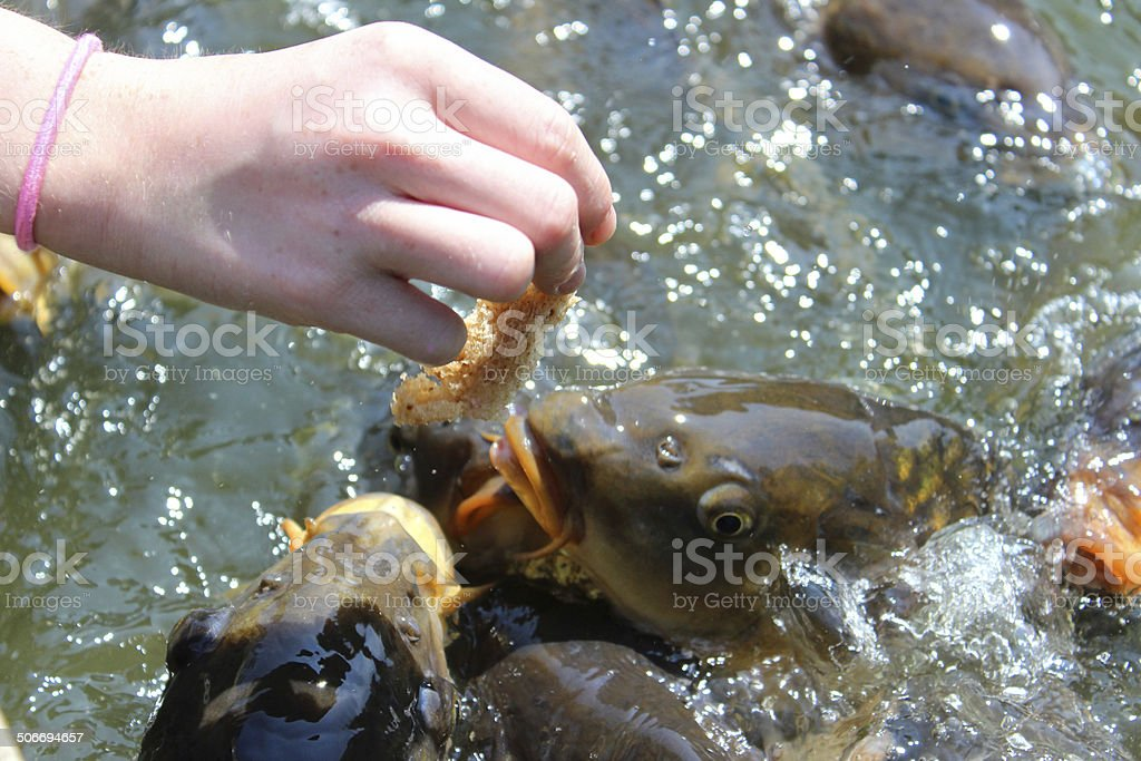 Ghost Koi | Royalty Free Ghost Koi Pictures Images And Stock Photos Istock