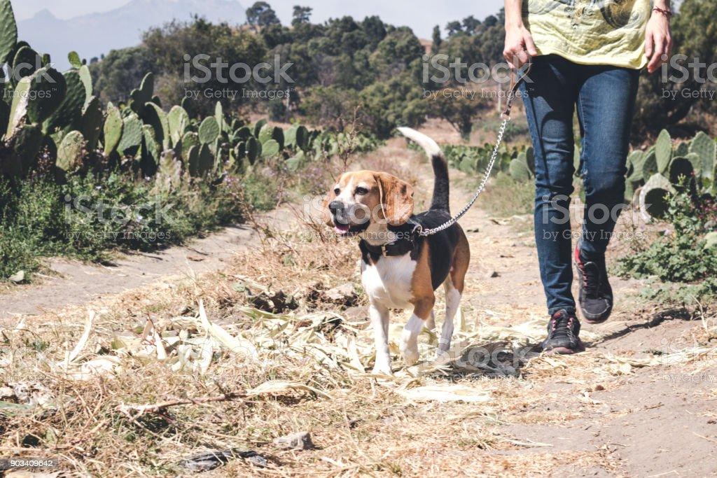 Girl hiking on a sunny day with her beagle dog stock photo