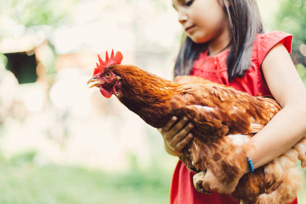 Girl holding a brown hen stock photo
