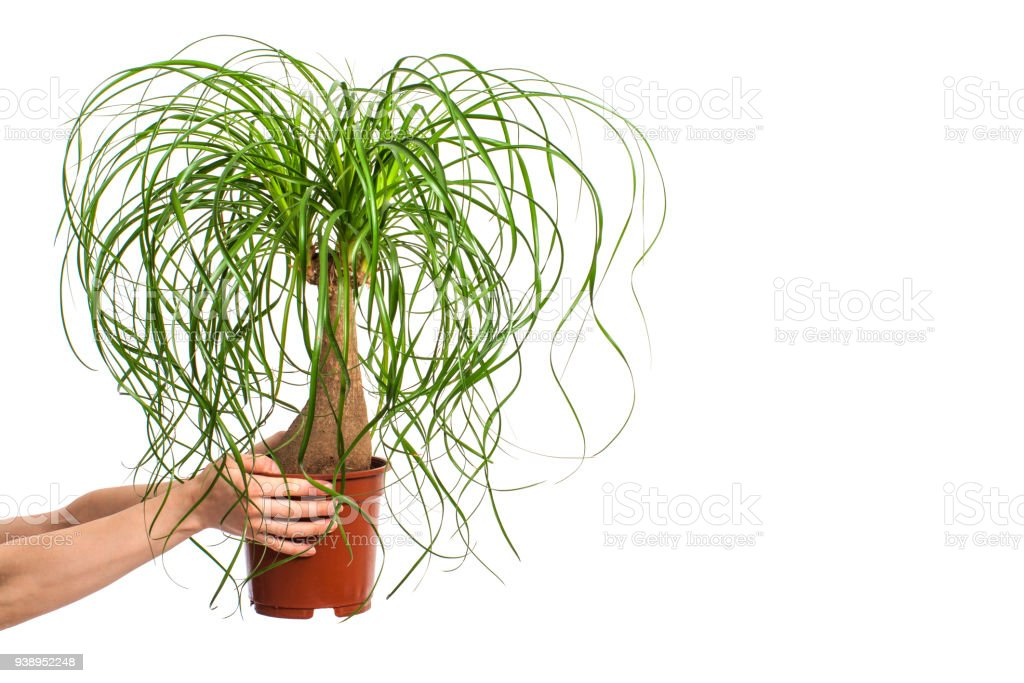 girl holding Nolina in flower pot isolated on white background stock photo