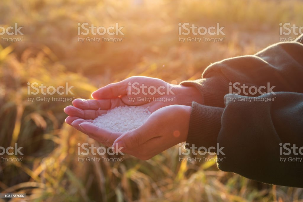 Girl holding rice in the rice field in the sunset stock photo