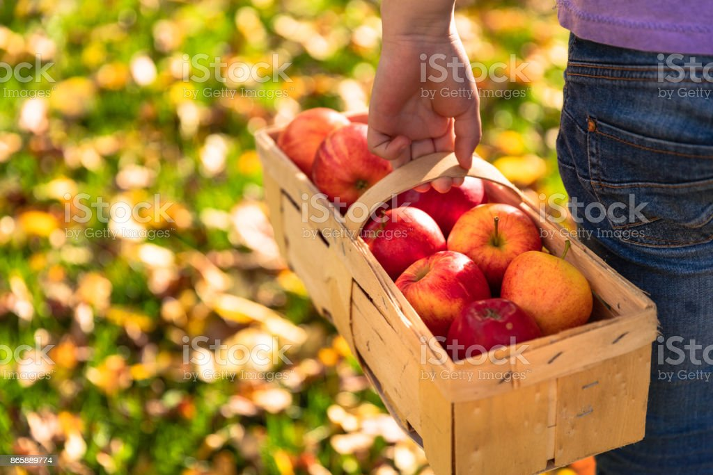 Girl in an orchard with basket and red apples stock photo