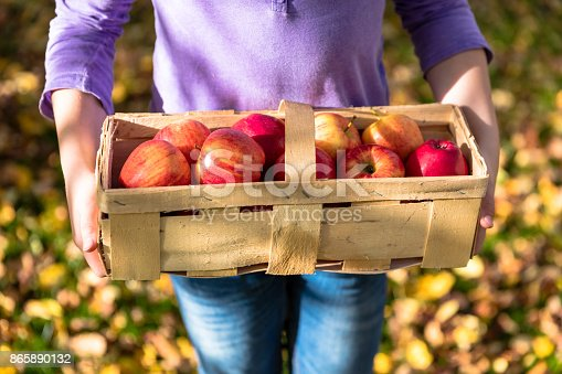 865889676 istock photo Girl in an orchard with basket and red apples 865890132
