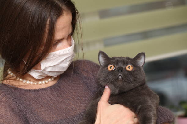 girl in medical mask on her face is holding  British cat breed.toxoplasmosis protection against cat infection for humans. stock photo