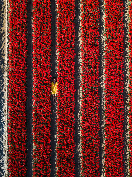 Girl in yellow coat, laying between rows of red tulips stock photo