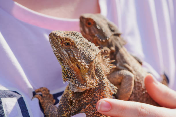 girl is holding two bearded dragons on the shirt on a sunny day stock photo