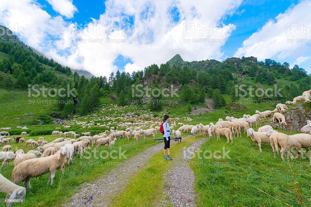 Mädchen sieht transhumance von Schafen in den Bergen – Foto
