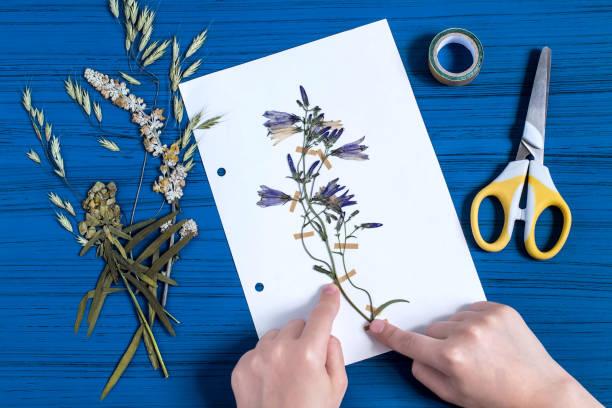 Girl makes herbarium of herbs (Campanula) stock photo