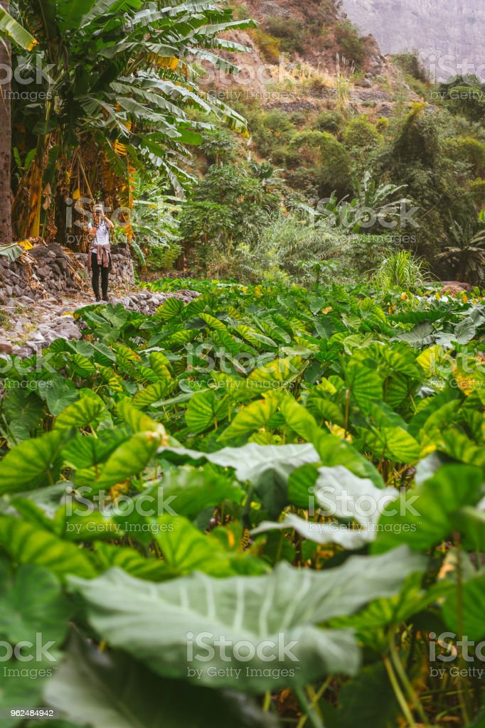 Girl making photo of a lotus plants in lush green valley on the bottom of a mountain. Santo Antao. Cape Verde stock photo