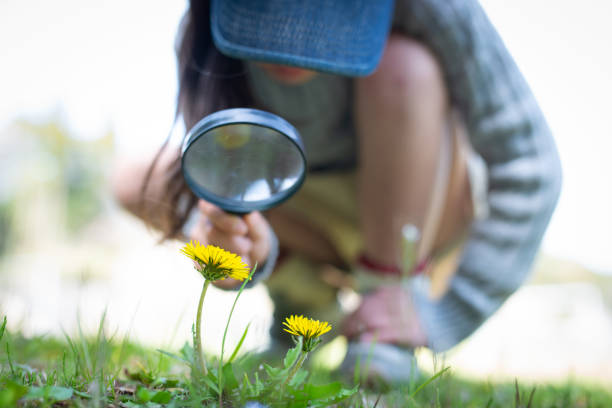 Girl observing a dandelion with a magnifying glass stock photo