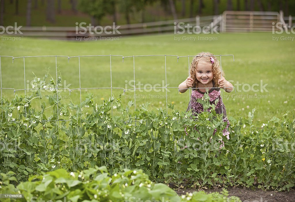 Girl Peeking Through Garden Pea Fence royalty-free stock photo
