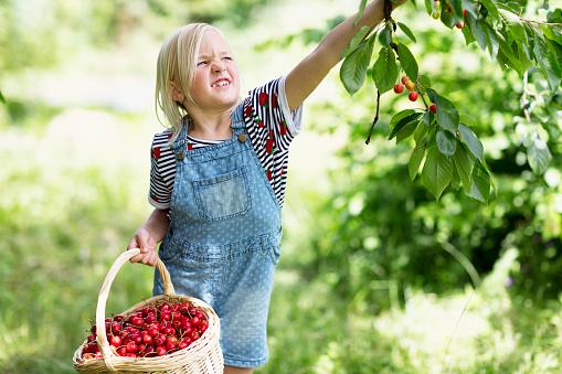 Girl picking cherries