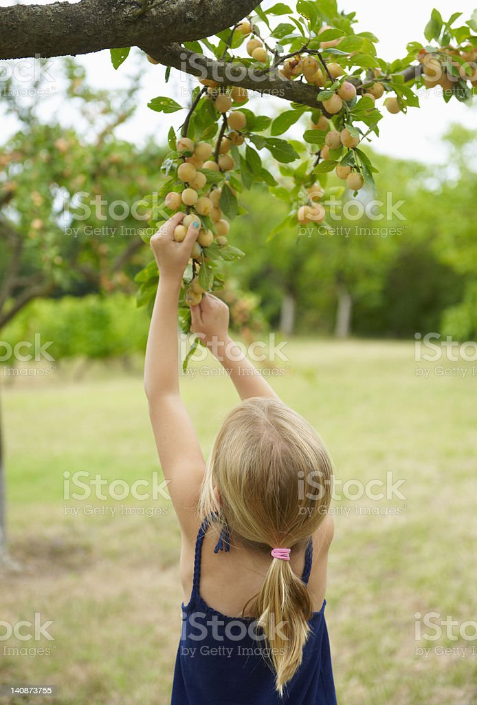 Girl picking fruit off tree stock photo