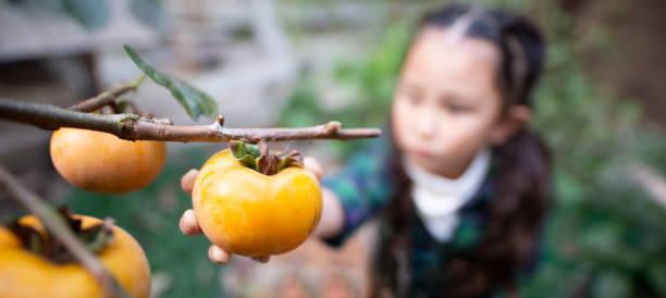 Girl picking persimmons stock photo