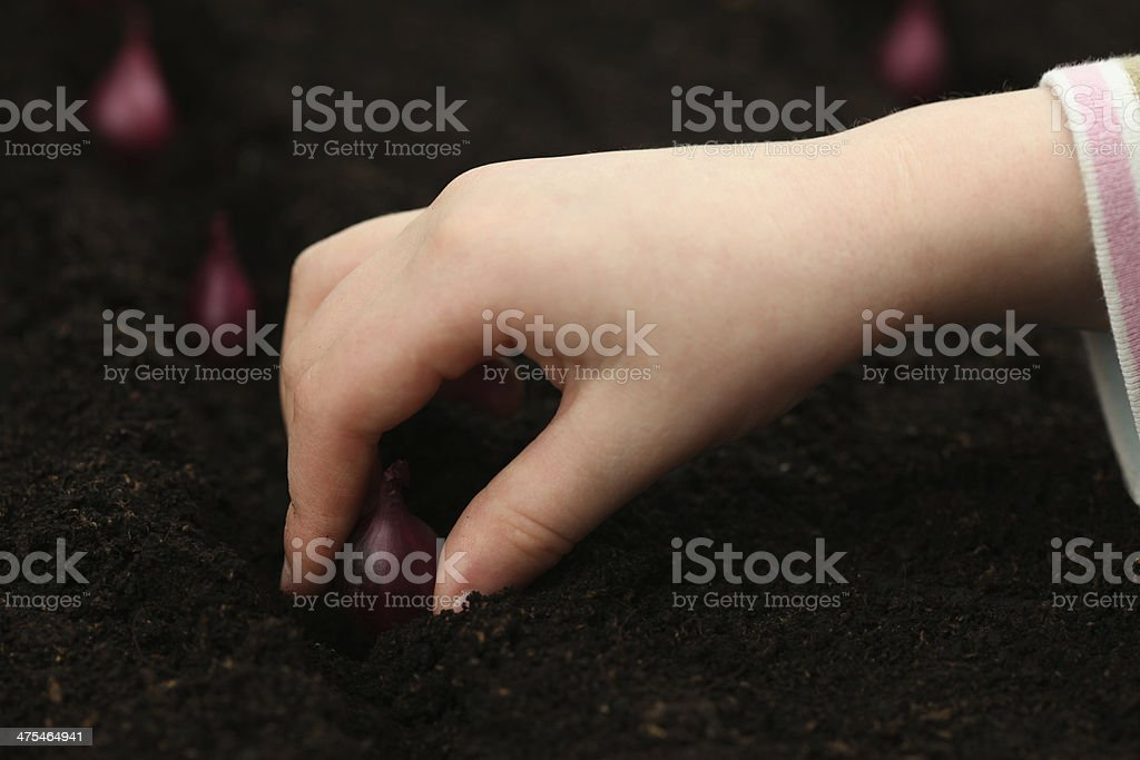 girl planting organic red onion sets royalty-free stock photo