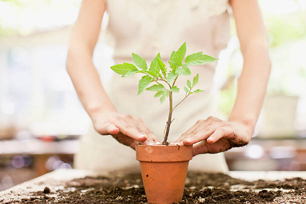 Girl planting seedling in ceramic flower pot  potting stock pictures, royalty-free photos & images