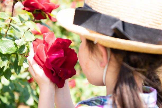 meisje ruikt de geur van rode rozen - caernarfon and merionethshire stockfoto's en -beelden