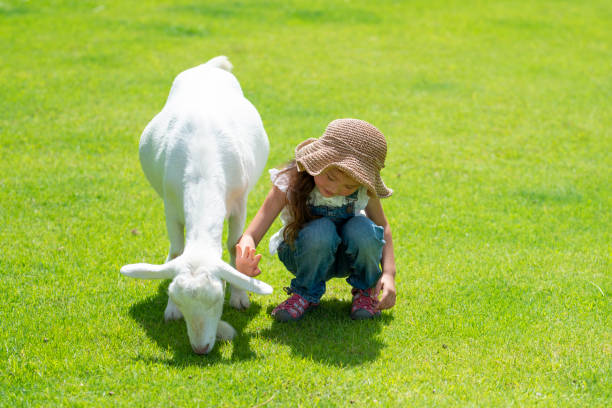 Girl touching the goat Girl touching the goat paddock stock pictures, royalty-free photos & images