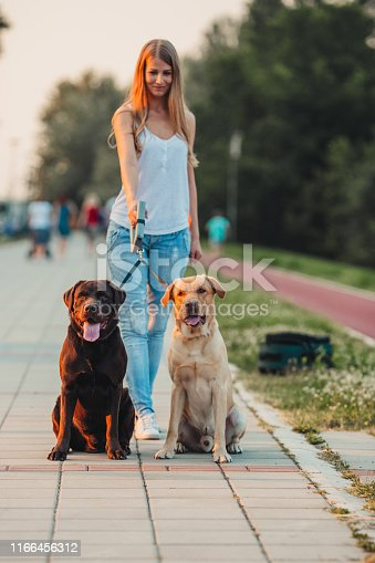 Beautiful girl walking two labradors outside