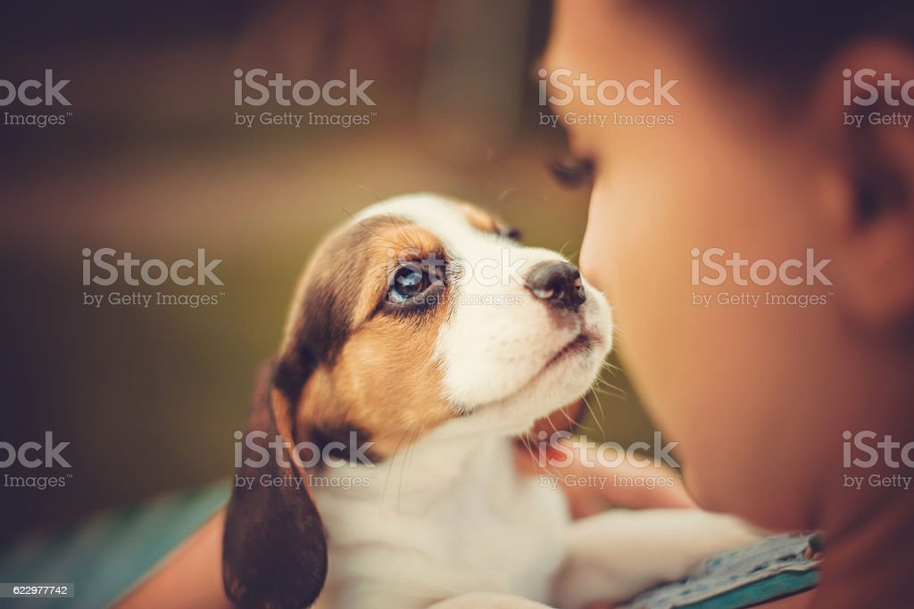 Girl with beagle puppies - foto de stock