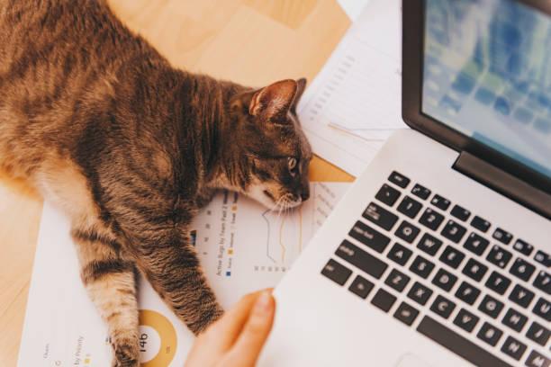 Girl working concept with a lazy assistant her cat picture id664726364?b=1&k=6&m=664726364&s=612x612&w=0&h=xqxrnkcguspqv4klkxe6 d g3n0vrcz7pmosp8objok=