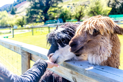A teenage girl feeding alpaca out of hand through fence on farm, also interacting with them and taking photos.
