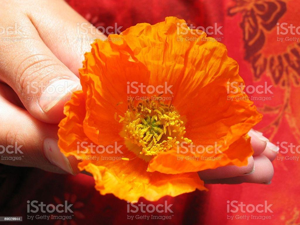 girls hand holding orange poppy royalty-free stock photo