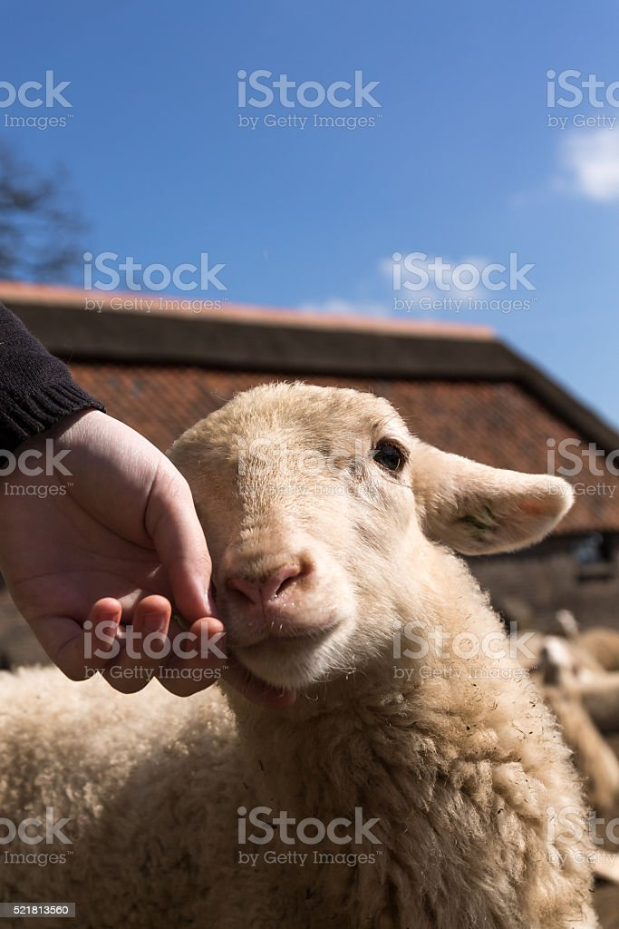 Girls Hand petting a lamb. stock photo