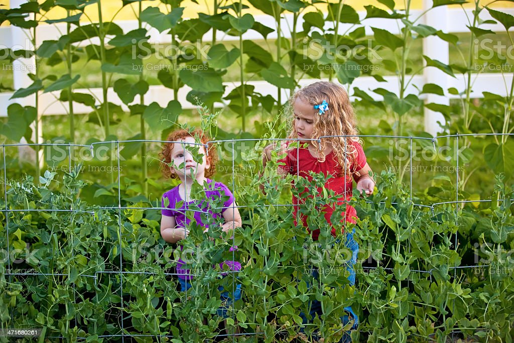 Girls Looking for Peas in Garden royalty-free stock photo