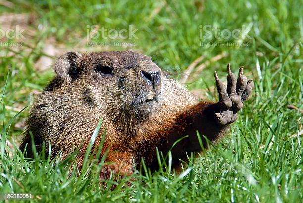 Give me five shows groundhog picture id186380051?b=1&k=6&m=186380051&s=612x612&h=h o3l ualswwqg8htzejcazulmrimeaveomo9x 95 c=
