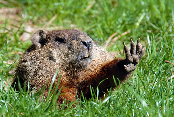 Give me five shows Groundhog stock photo