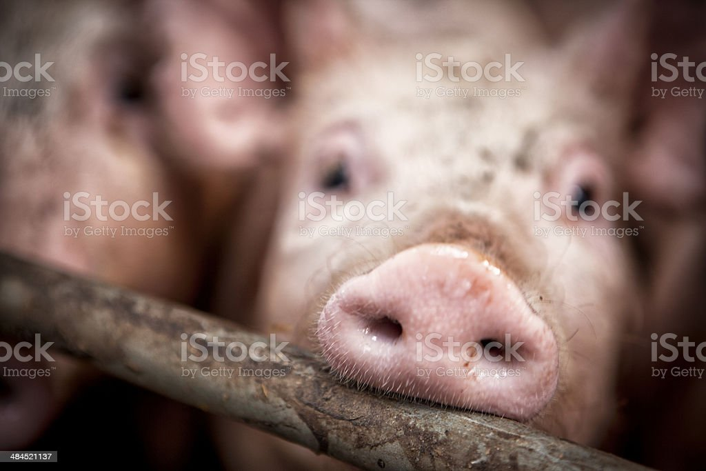 Give us a kiss… Closeup of pigs snout. stock photo