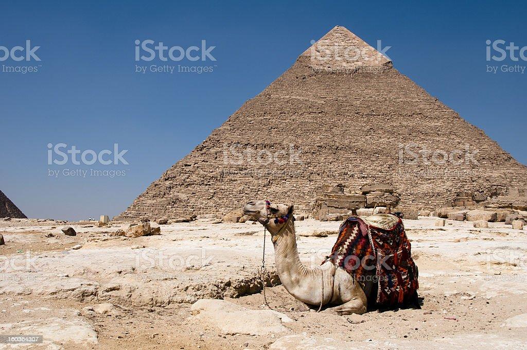 Giza Pyramid with camel royalty-free stock photo