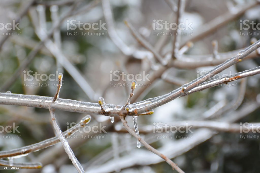 Glaciation after spring thaw. Branch of tree and young buds are covered with ice and snow. Icicles hanging from branches. stock photo