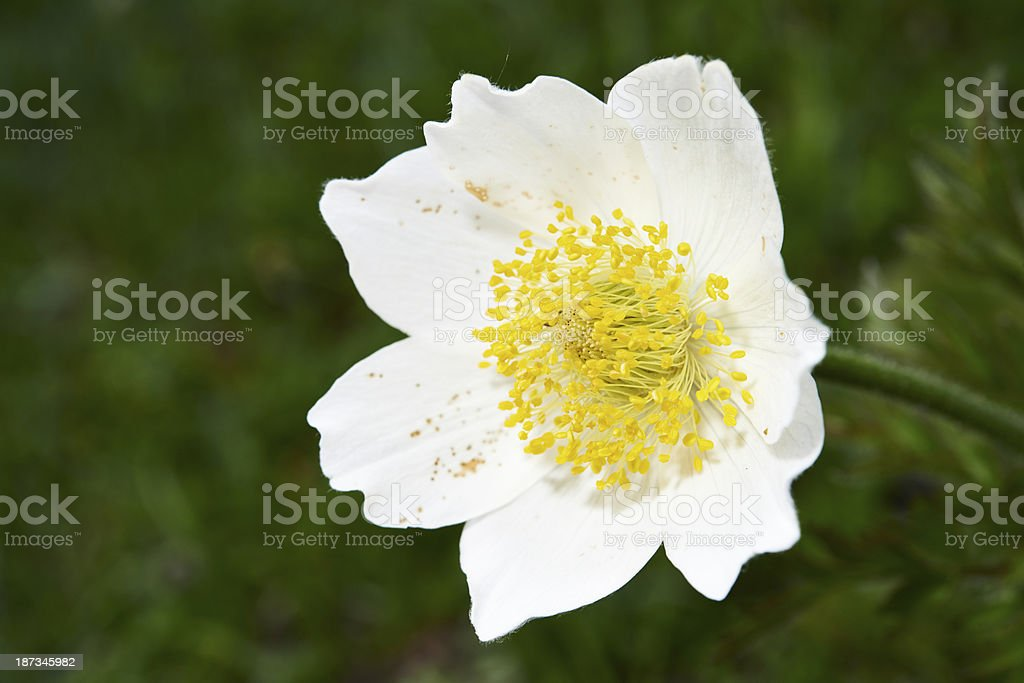 Glacier Buttercup royalty-free stock photo