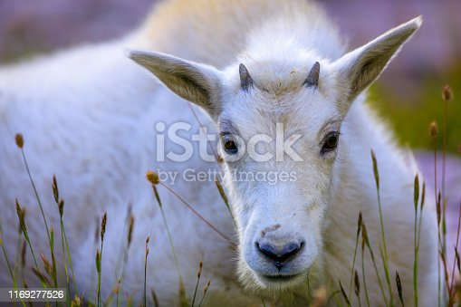 Mountain goats in Glacier National Park in Montana USA