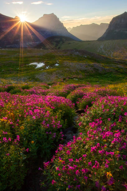 glacier national park - meadow in bloom going to the sun flare - logan pass stock pictures, royalty-free photos & images