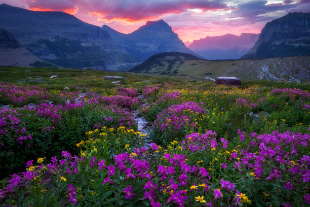 glacier national park - meadow in bloom going to the sun - logan pass stock pictures, royalty-free photos & images