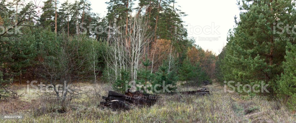 Glade in a pine forest with deciduous trees - autumn landscape, banner, panorama stock photo