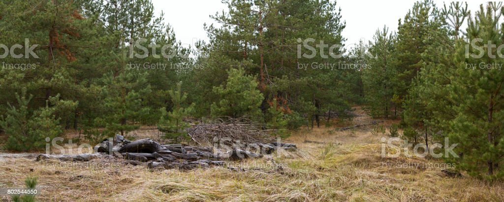 Glade in pine wood with folded branches - autumn landscape, banner, panorama stock photo