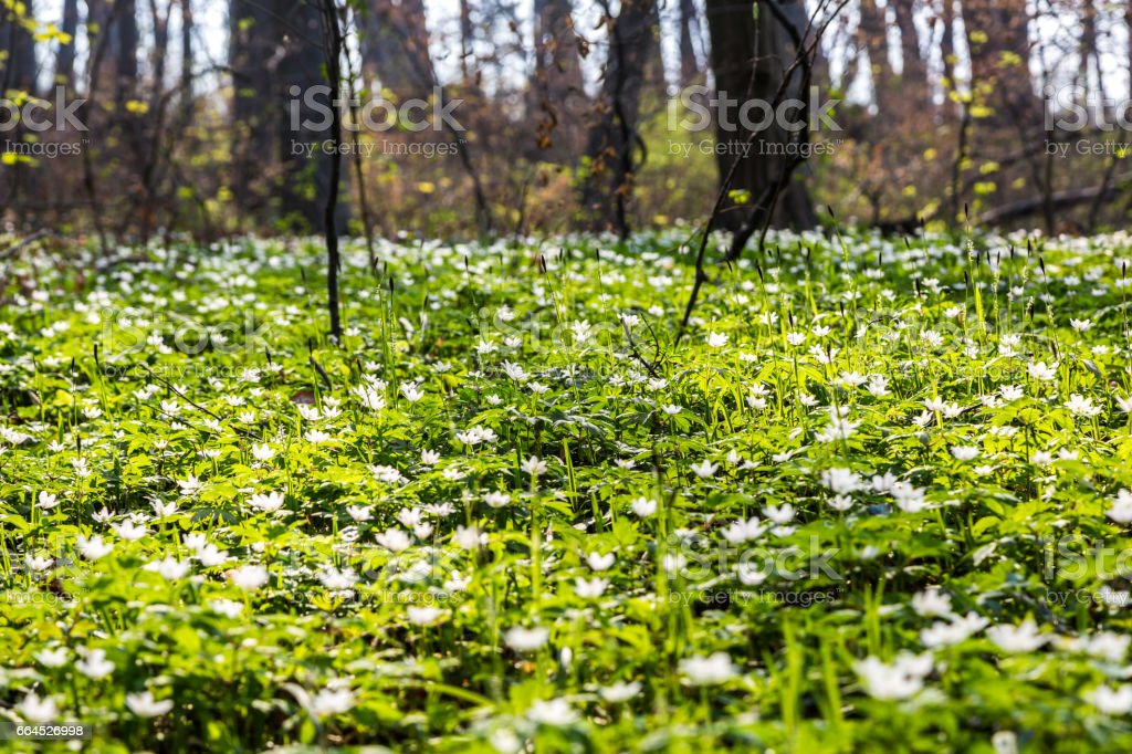 Glade in the forest with white flowers royalty-free stock photo