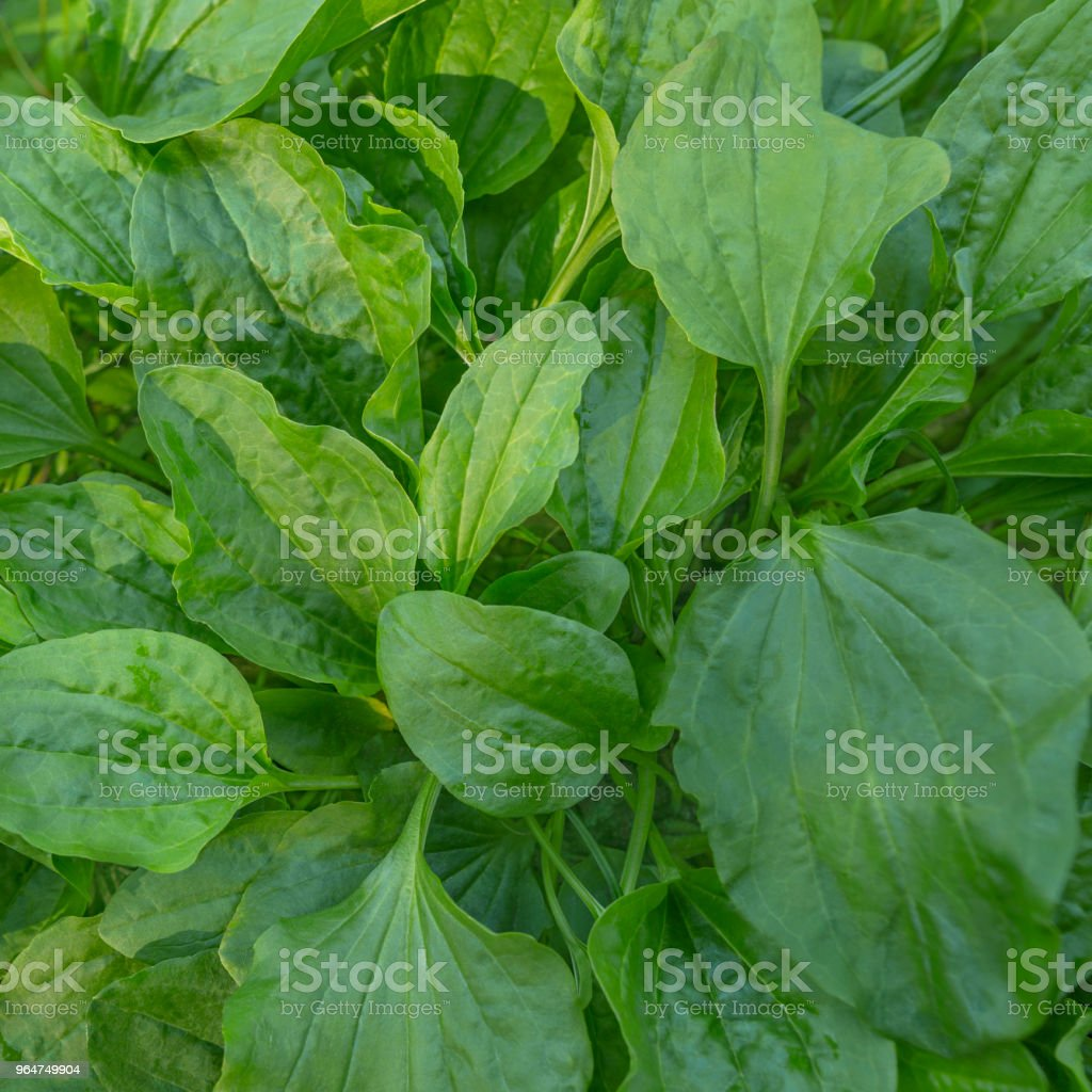 Glade of leaves plantain. Green natural texture. royalty-free stock photo