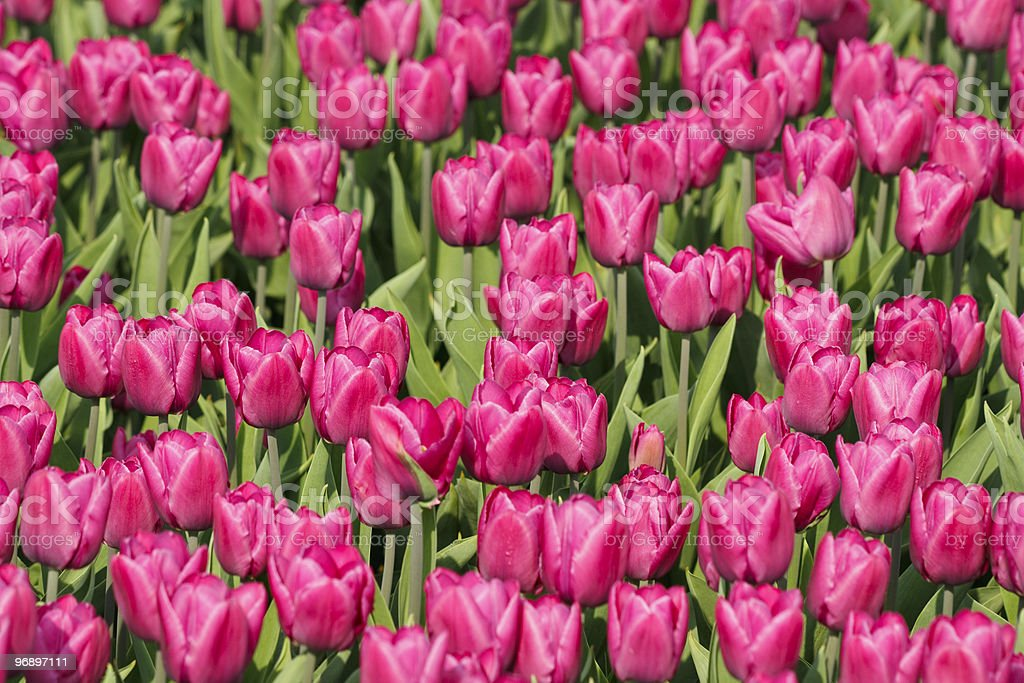 Glade of purple tulips royalty-free stock photo