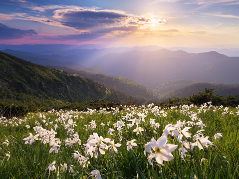 Glade with white flowers in the mountains