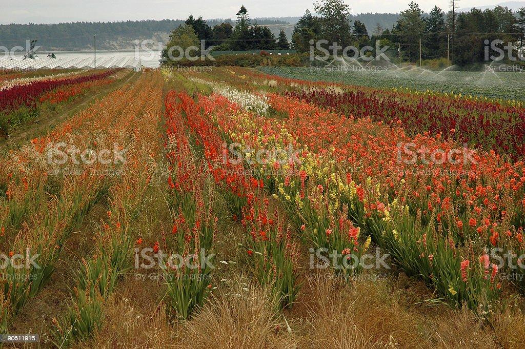 Gladiola field royalty-free stock photo