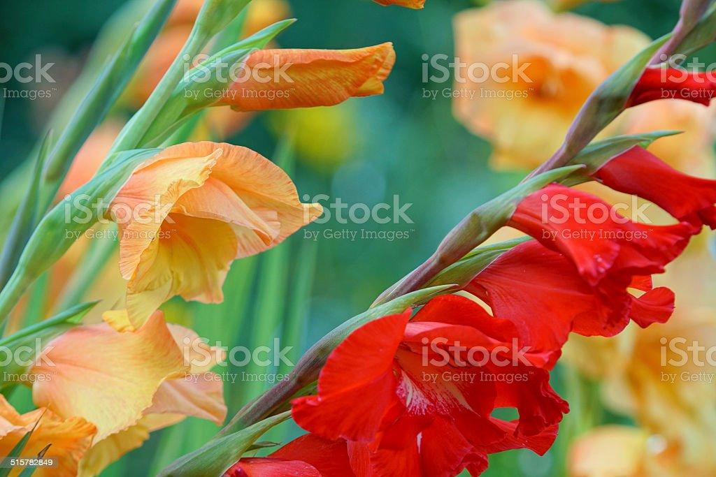 Gladiola stock photo