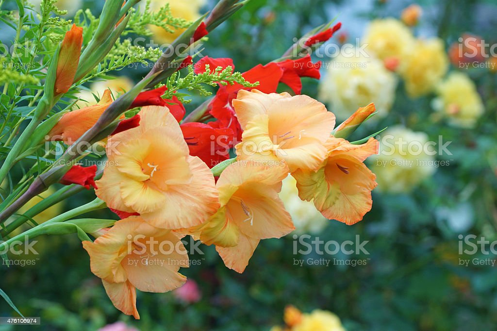 Gladiola with golden rod stock photo