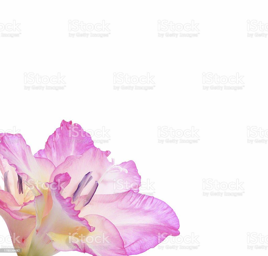Gladiolas royalty-free stock photo