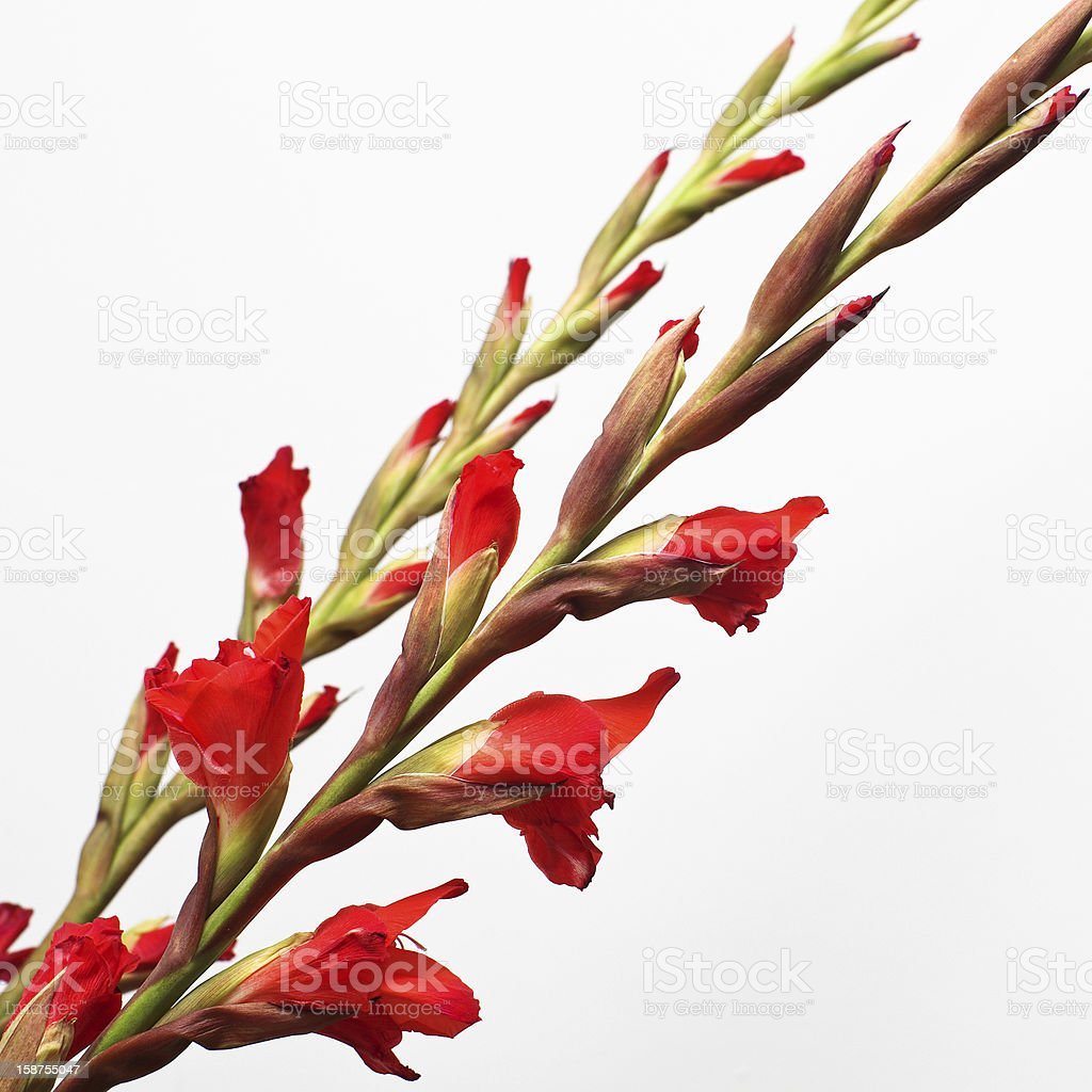 gladioli diagonal royalty-free stock photo